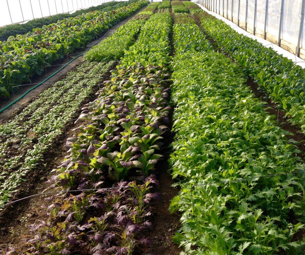 FMP local fresh greens