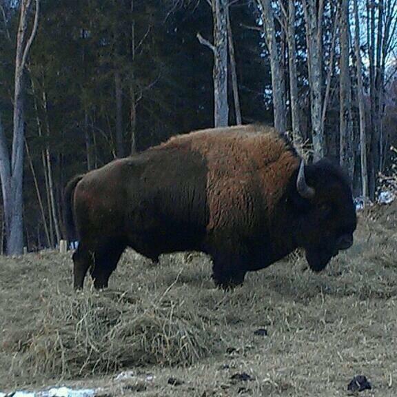 Mt View Bison
